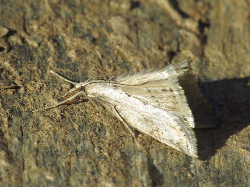 Evergestis isatidalis (Crambidae - Grass Moths)