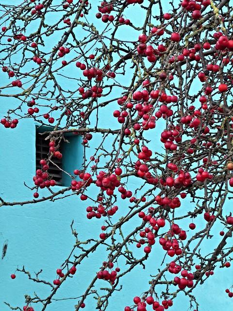 Red berries on a, Panasonic DMC-TZ70