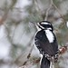 Hairy woodpecker_(Peter Dunn)