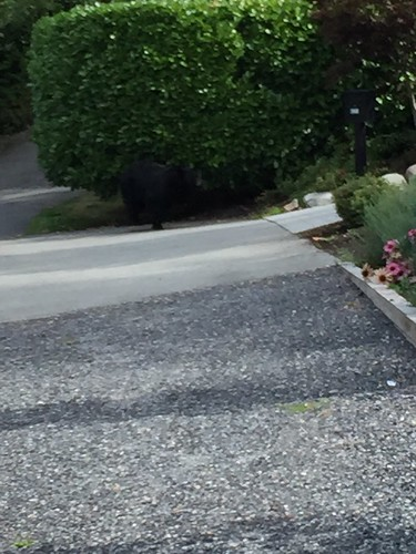 A bear in our garden