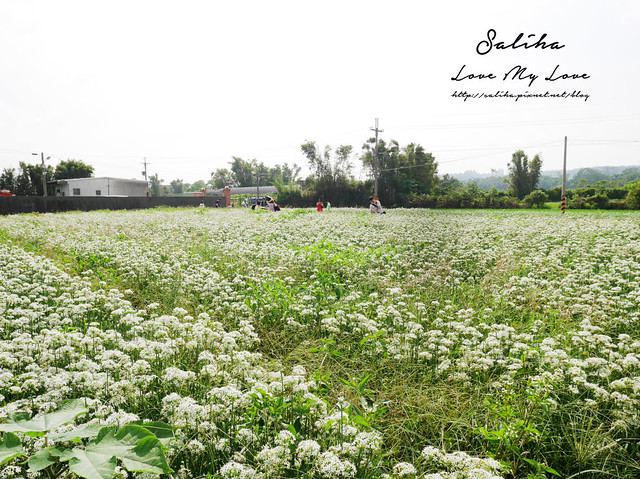 桃園大溪景點中新里韭菜花 (21)