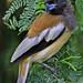 Rufous Treepie juvenile