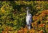 Autumn heron by Steve-h