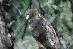 D70-0812-047 - Red-tailed Hawk