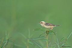 11黃頭扇尾鶯