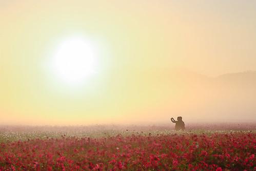 mist fog sunrise cosmos 波斯菊 日出 cosmosbipinnatus 霧 新社花海
