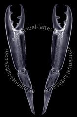 Radiographie de pinces de langoustine (Nephrops no…