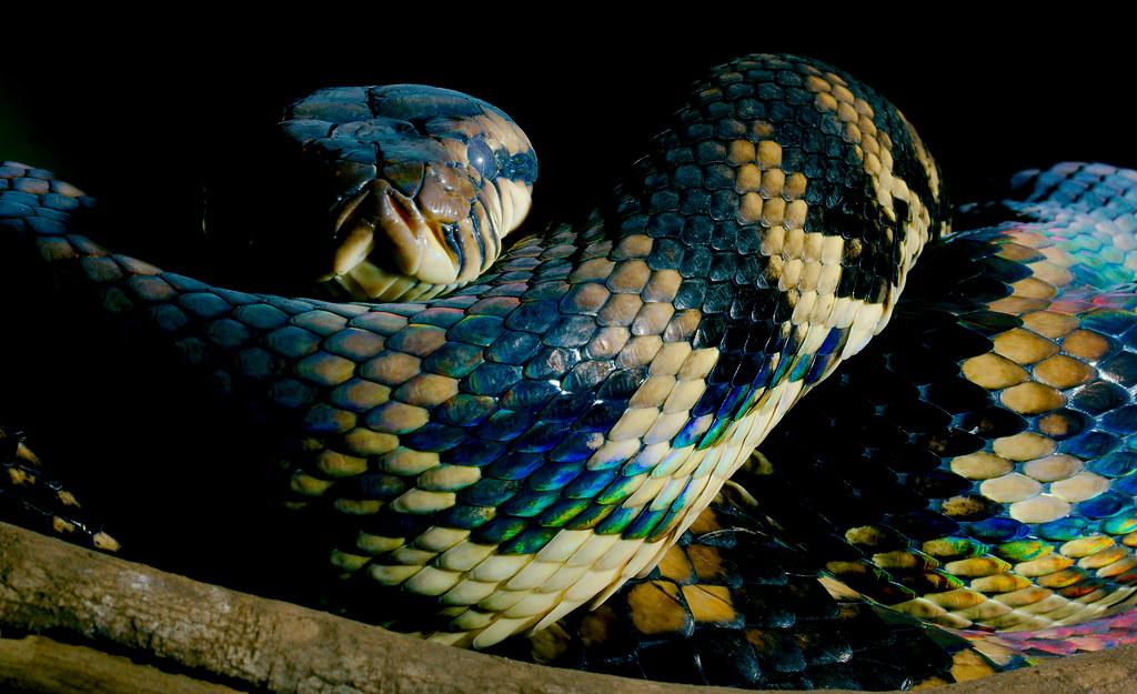 Scrub Python (Morelia amethistina)_4