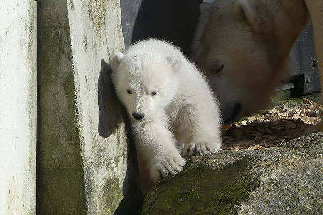 Eisbär Q, Tierpark Hellabrunn