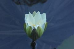 Lotus in the Gunung Lebah Temple fountains