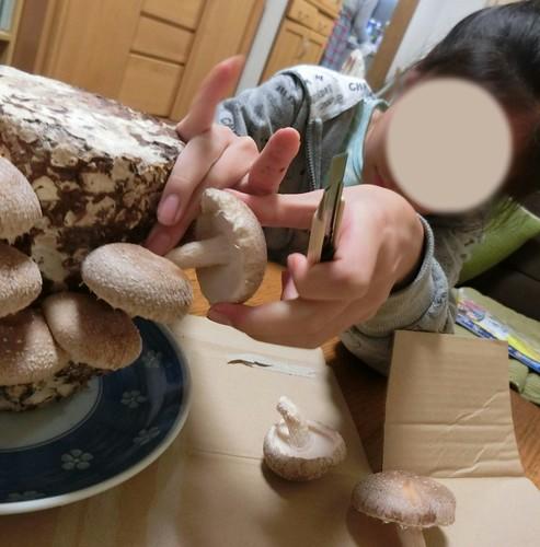 キノコ栽培セットで育ったきのこを収穫する