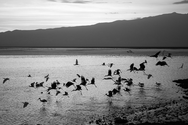 Storks at Sunrise over Lake Natron