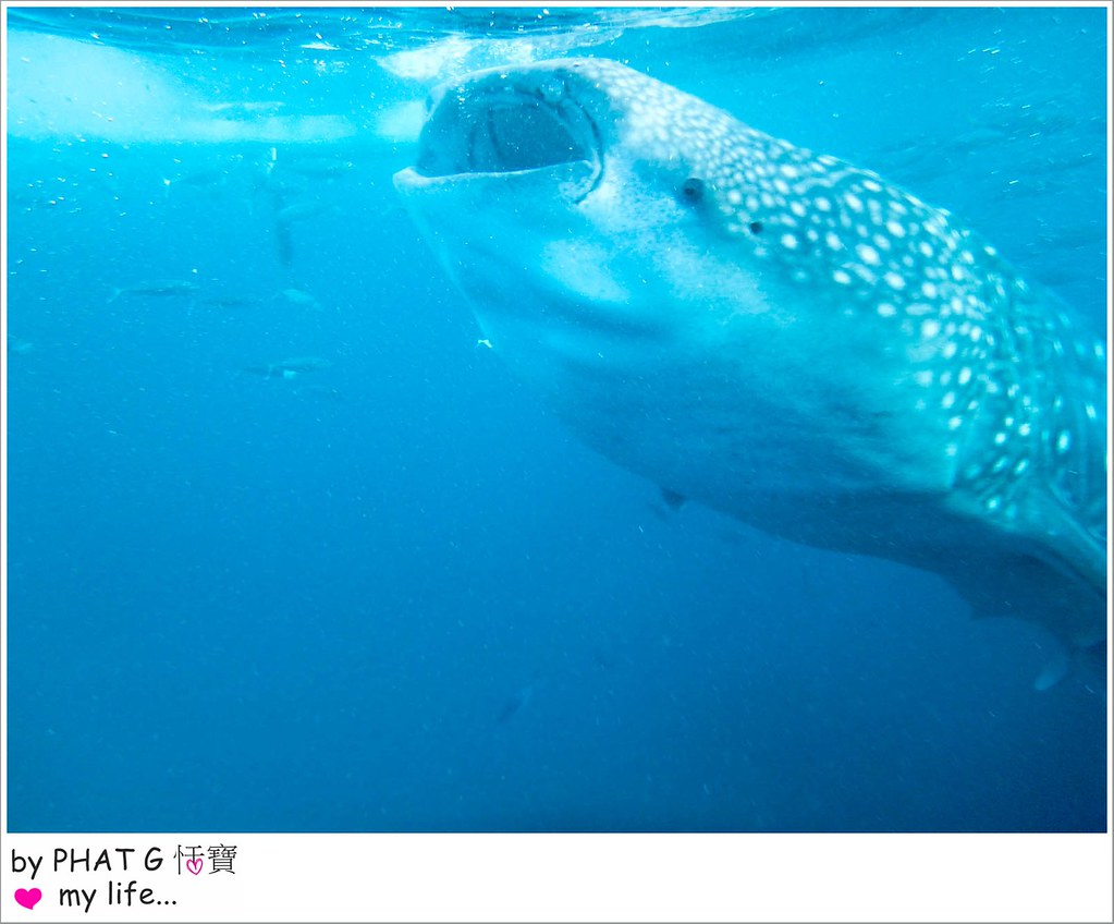 cebu whale shark 15-2