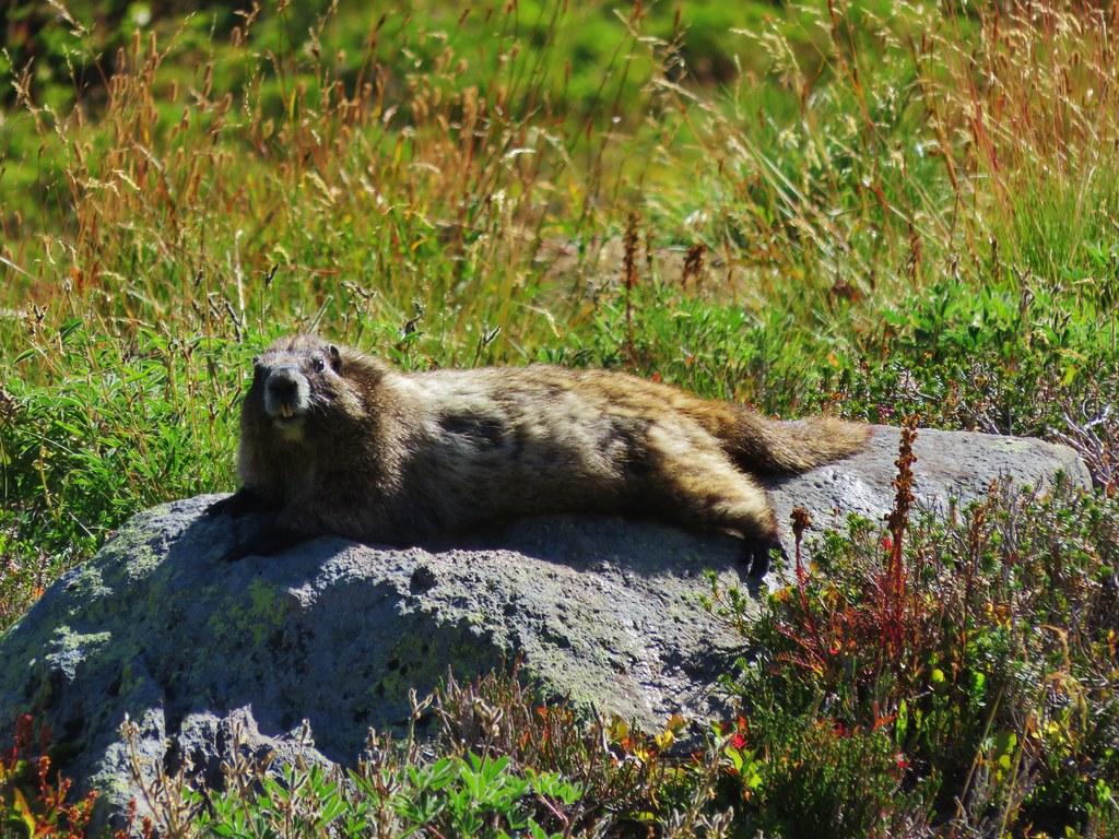 Lounging marmot