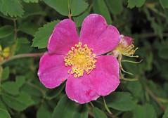 rosa wichuraiana, flower, rosa gallica, plant, rosa rubiginosa, rosa canina, flora, rosa multiflora, rosa acicularis, rosa pimpinellifolia, petal,
