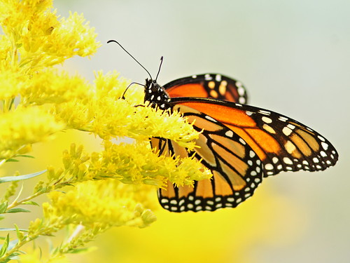 Monarch battling high winds 20150906