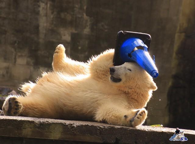 Eisbär Fiete im Zoo Rostock 26.09.2015   065