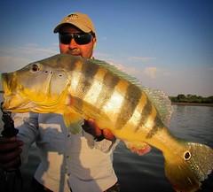 O tucunare açú é o maior dentre a espécie, mas não significa que você não consiga fisgar grandes exemplares de tucunare fora da Amazônia.  #pescaesportiva #pescaamadora #pesqueesolte #baitcast #fly #tucunare #tucunareazul #sportfishing #fishing #flyfishin