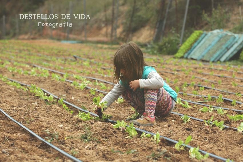 Plantando acelgas y espinacas en familia