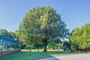 Willow Oak in Kensington