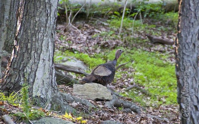 wild turkey 0001 Harriman State Park, NY, USA