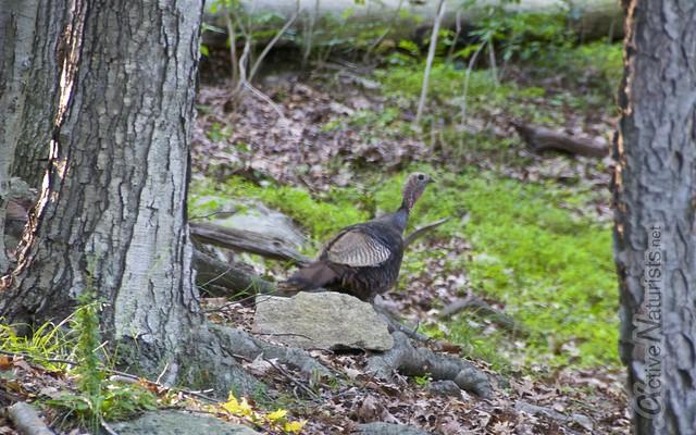 wild turkey 0001 Harriman State Park, NY, USA