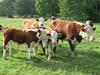 Viktor's cattle