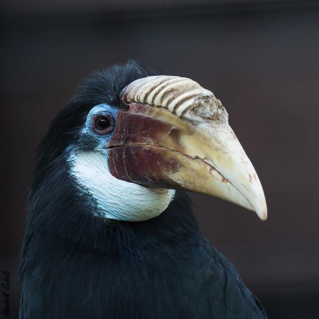 Papuahornvogel / Blyth's hornbill