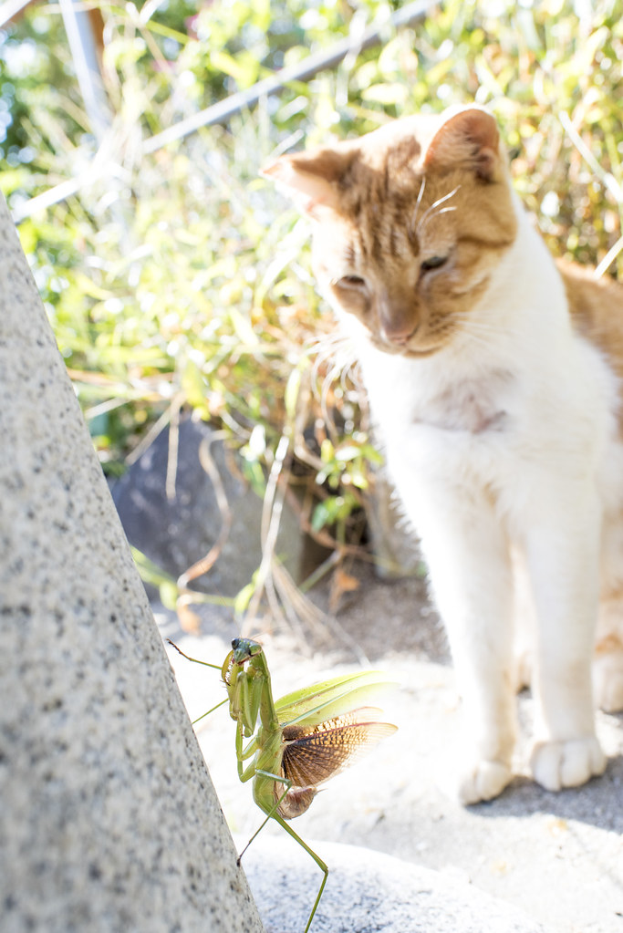 mantis and cat