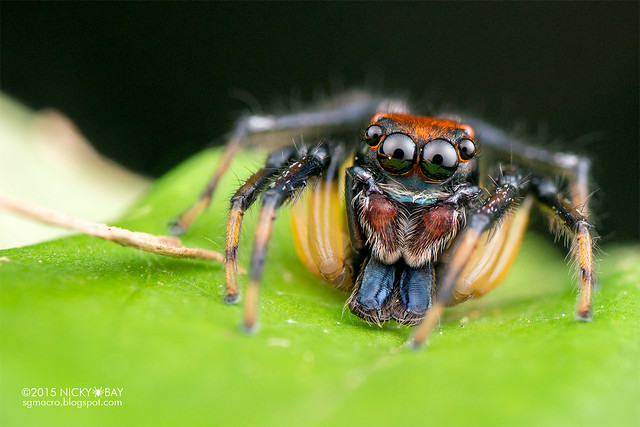 Jumping spider (Amycus sp.) - DSC_2966