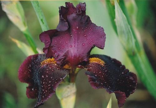 Iris - floraisons 2011 - Page 2 20729126884_895652f878