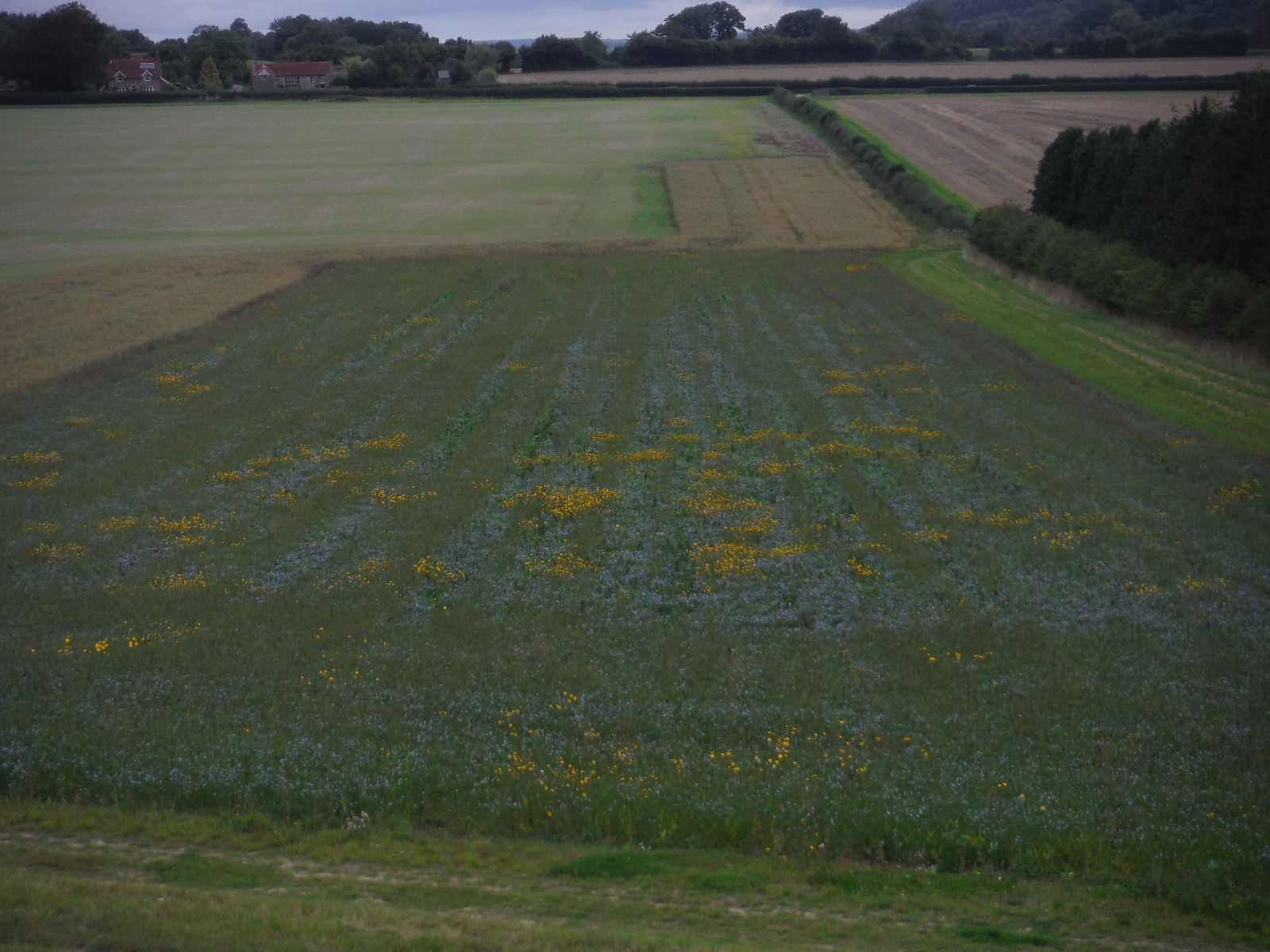 Wildflowers in Field below Swallowcliffe Down SWC Walk 250 Tisbury Circular via Alvediston
