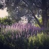 Lavender in shade, 10/1/15