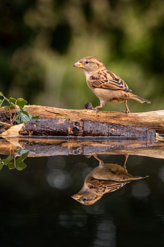 House Sparrow Reflection