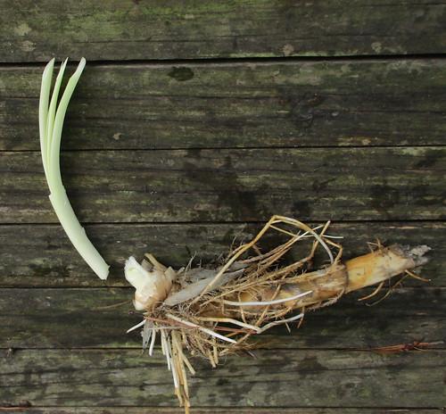 Cattails Seedling IGFB23