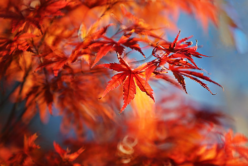 Maple Leaves Afire 火红的楓葉