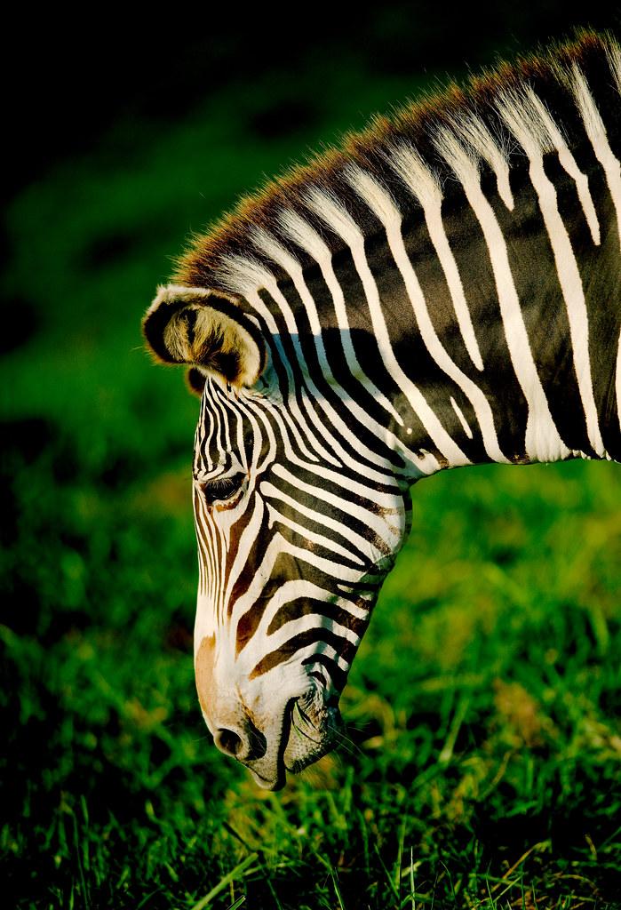 Grévy's zebra (Equus grevyi)_3