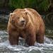 Brown Bear by toryjk
