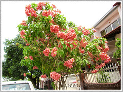 Tall tree of Mussaenda philippica cv. Dona Luz, seen by the roadside in our neighbourhood, Feb 8 2014