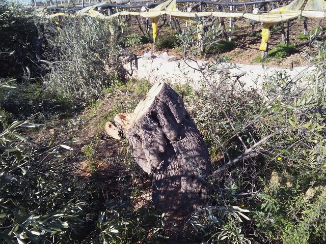 Rutigliano-Segati 19 alberi secolari di Rutigliano (5)