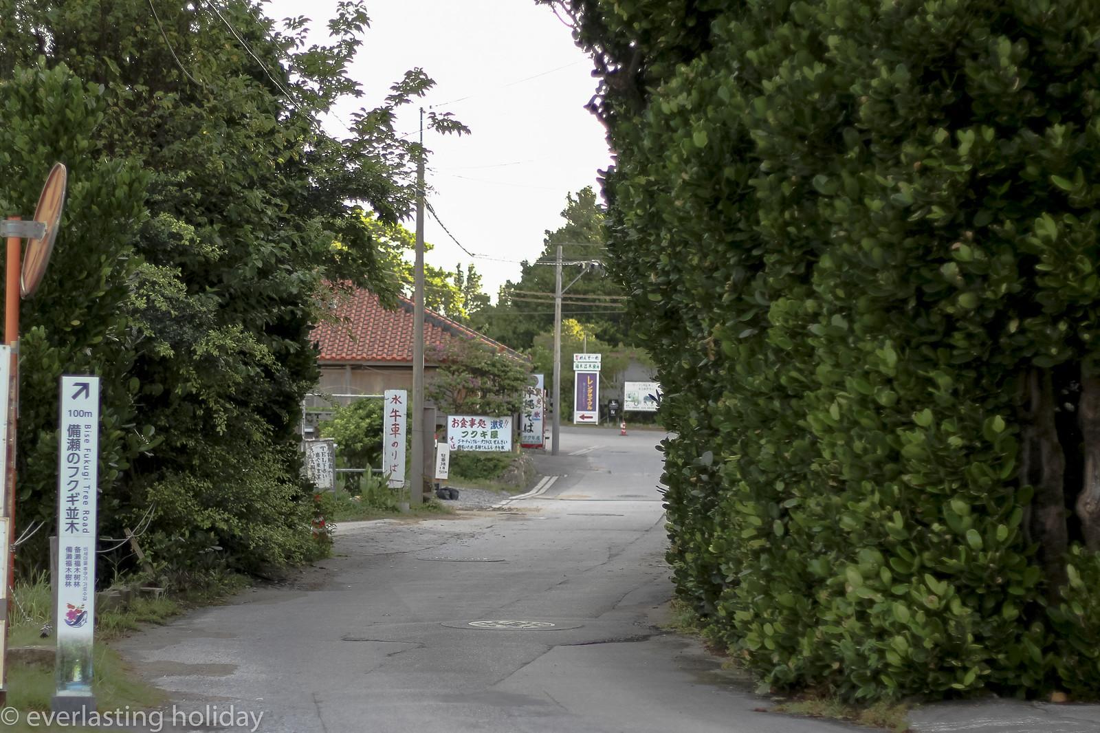 備瀬フクギ並木通り Bise Fukugi Tree Road-0003