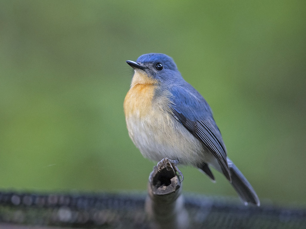 Tickell's Blue Flycatcher    Sri Lanka