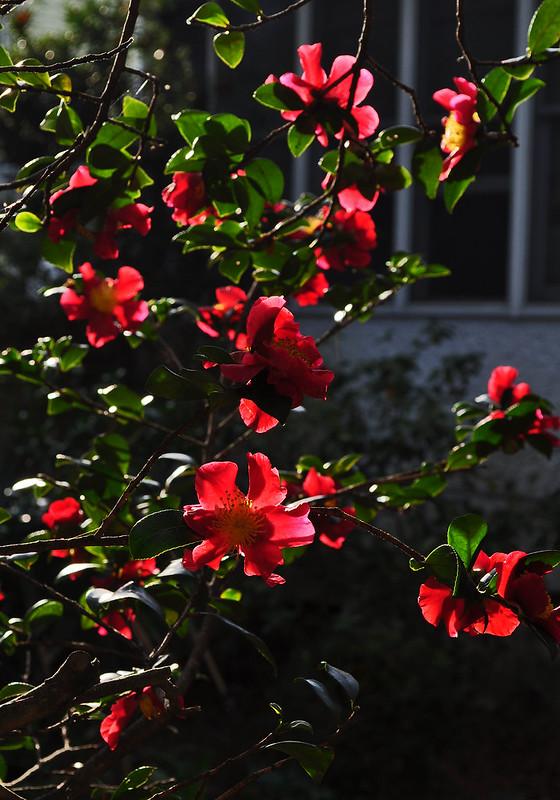 Camellia sasanqua 'Yuletide' (3)