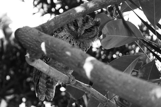 Taiwan Collared Scops-Owl