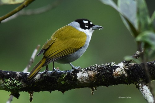 Cuatro Ojos  (Phaenicophilus palmarum) - Black Crowned Palm Tanager