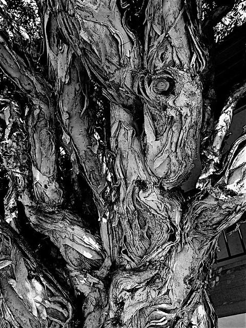 eucalyptoid creature1a