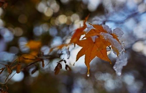 sapporo hokkaido japan maruyamapark earlywinter maple autumnleave bokeh 初冬 札幌 北海道 円山 円山公園 楓 nikon d750 nikkor 24mmf14ged 24mm