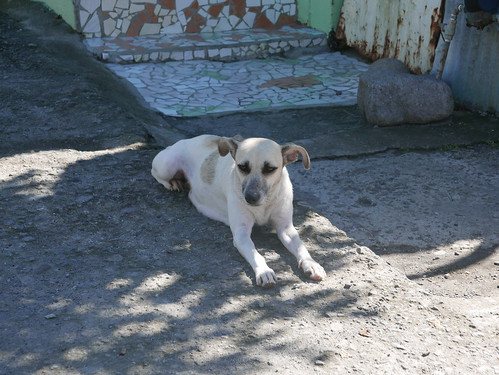 Stray dog in Mahaut, Dominica