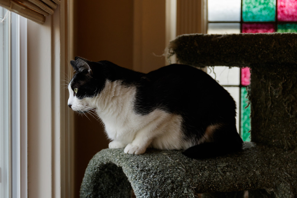 Our cat Boo sits in the cat tree and looks out the window