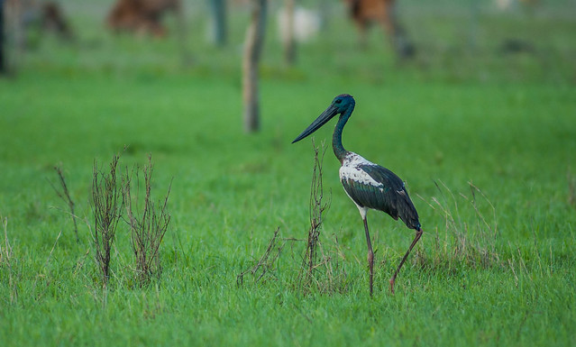 Black-necked Stork walking.Aussie, Nikon D70S, Nikkor 500mm f/4 P ED IF